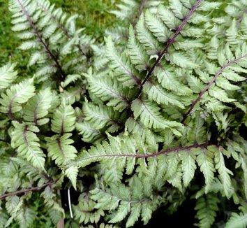 Anisocampium niponicum var. pictum 'Applecourt' 14