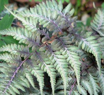 Anisocampium niponicum var. pictum 1