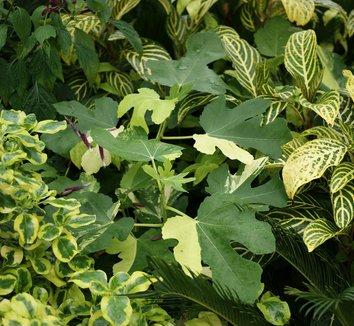 Ficus carica 'Variegata' 1