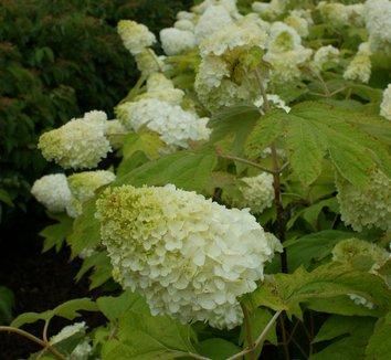 Hydrangea quercifolia 'Harmony' 3 flower