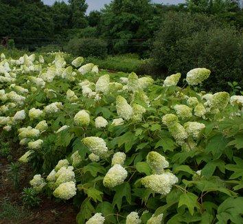 Hydrangea quercifolia 'Harmony' 1 flower, form