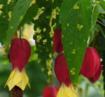Abutilon megapotamicum 'Variegatum' 6 flower