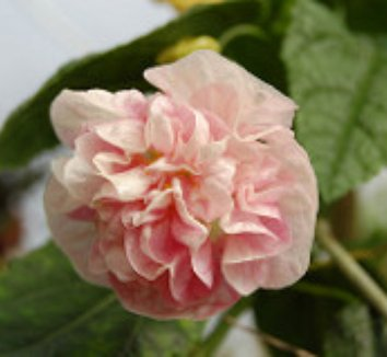 Abutilon 'Victorian Lady' 1 flower