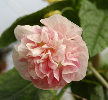 Abutilon 'Victorian Lady' 6
