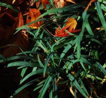 Carex laxiculmis 'Hobb' 6