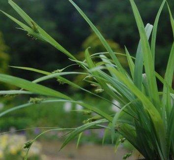 Carex laxiculmis 'Hobb' 1