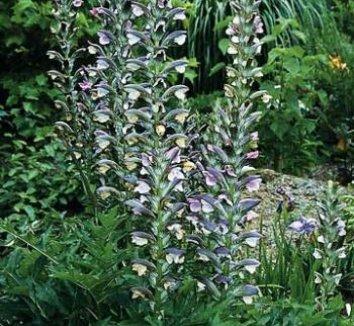 Acanthus hungaricus 1 flower