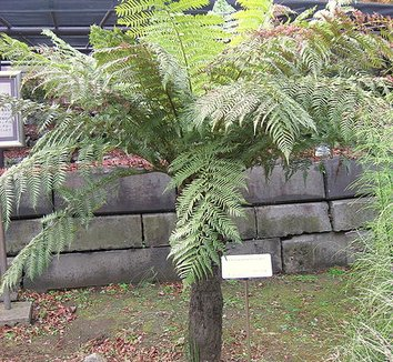 Dicksonia antarctica 1 form