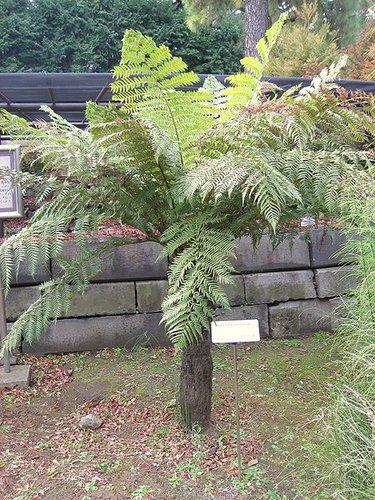 dicksonia antarctica tasmanian tree fern soft tree fern man fern plant lust. Black Bedroom Furniture Sets. Home Design Ideas
