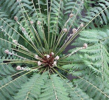 Dicksonia antarctica 2