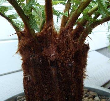 Dicksonia antarctica 5 trunk