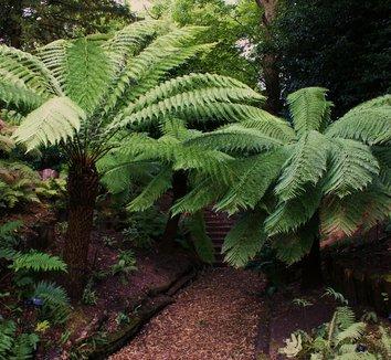 Dicksonia antarctica 9 form