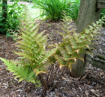 Dryopteris erythrosora 'Brilliance' 1