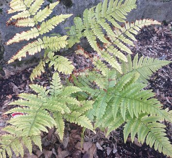 Dryopteris erythrosora 'Brilliance' 20