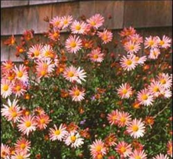 Chrysanthemum rubellum 'Hillside Sheffield Pink' 1 flower