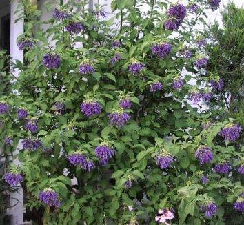 Iochroma cyanea 5 flower