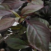 Alternanthera 'Gail's Choice'
