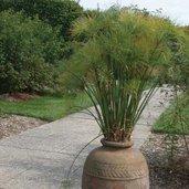 Cyperus papyrus 'King Tut'