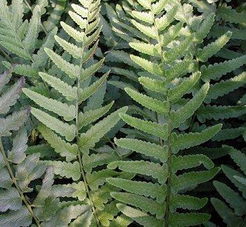 Dryopteris tokyoensis 9