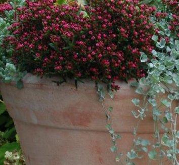 Crassula schmidtii 1 flower