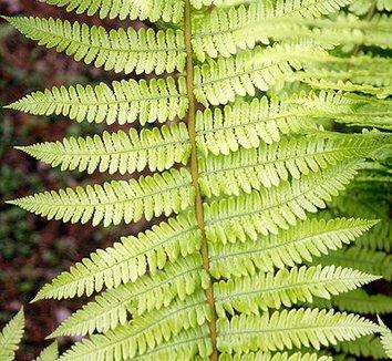 Dryopteris crassirhizoma 9