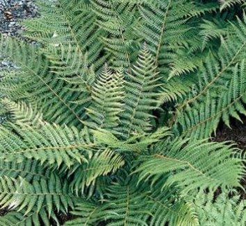 Dryopteris crassirhizoma 10