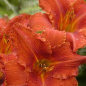 Hemerocallis 'Alabama Jubilee'