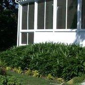 Sasa tsuboiana 'Green View' TM