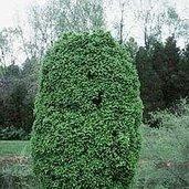 Carpinus betulus 'Columnaris Nana'