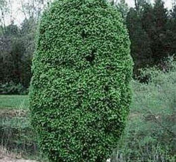 Carpinus betulus 'Columnaris Nana' 1 form