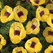 Torenia 'Yellow Moon'