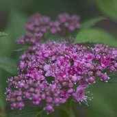 Spiraea 'Double Play Artist'