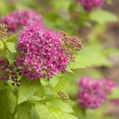 Spiraea 'Double Play Gold'