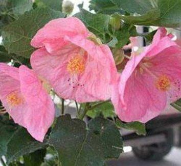 Abutilon x 'Kristen's Pink' 1 flower