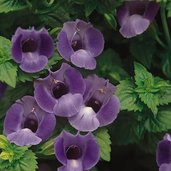 Torenia 'Summer Wave Blue'