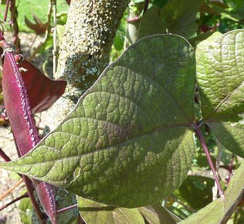 Lablab purpureus 3