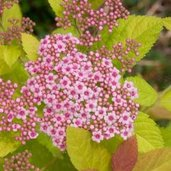 Spiraea 'Double Play Big Bang'