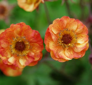 Geum 'Alabama Slammer' 4 flower