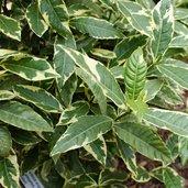 Gardenia augusta 'Variegata'