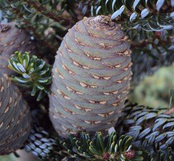 Abies koreana 'Silberlocke' 8 cones