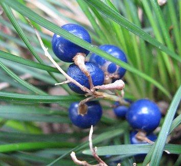 Ophiopogon japonicus 1 fruit