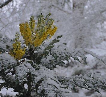 Mahonia x media 'Winter Sun' 1 snow