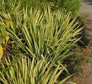 Yucca filamentosa 'Color Guard' 24