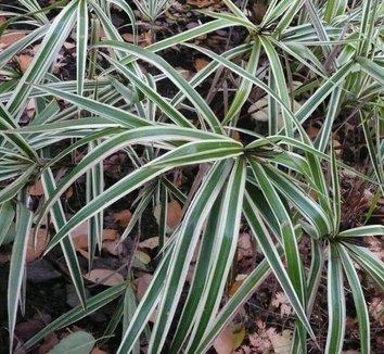 Carex phyllocephala 'Sparkler' 1