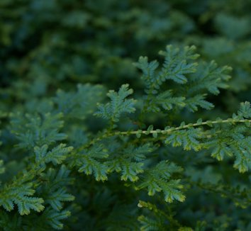 Selaginella uncinata 6