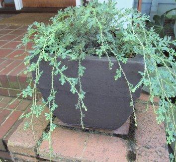 Selaginella uncinata 12 form