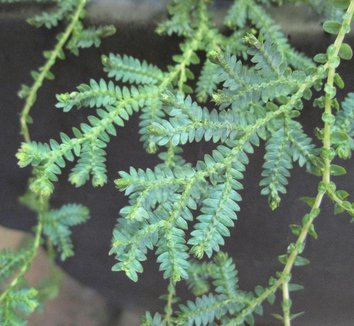 Selaginella uncinata 11 form