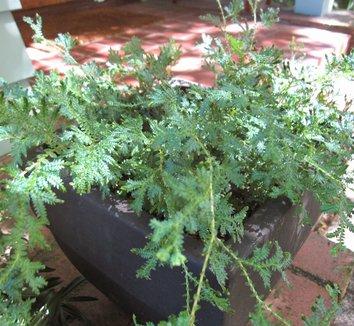 Selaginella uncinata 8 form