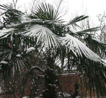 Trachycarpus fortunei 4