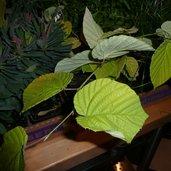 Corylopsis spicata 'Aurea'